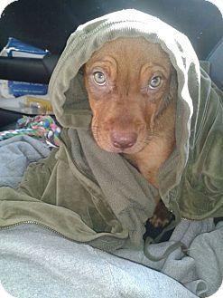 Pit Bull Terrier/Shepherd (Unknown Type) Mix Puppy for adoption in Mohegan Lake, New York - KRAMER