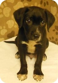 Labrador Retriever Mix Puppy for adoption in Gary, Indiana - Jason
