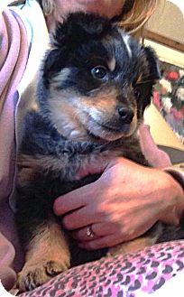 Blue Heeler Puppy for adoption in Somers, Connecticut - Rudy
