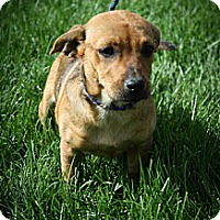 Adopt A Pet :: Marigold - Broomfield, CO
