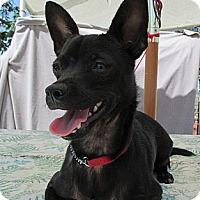 Chihuahua Mix Dog for adoption in Elk Grove, California - RASHEL