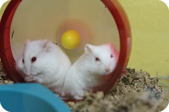 Hamster for adoption in Benbrook, Texas - Zizzi