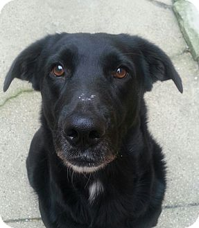 Labrador Retriever/Australian Shepherd Mix Dog for adoption in Chicago, Illinois - Sweetie*ADOPTED!*