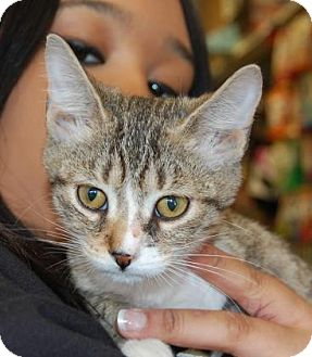 Domestic Shorthair Cat for adoption in Brooklyn, New York - Bulldog