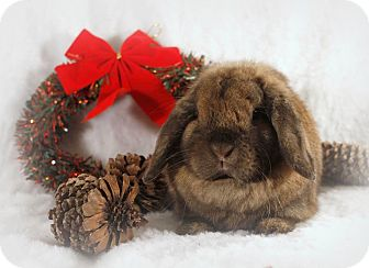 Lop-Eared Mix for adoption in Hillside, New Jersey - Munchkin