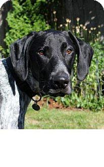 German Shorthaired Pointer Dog for adoption in Seahurst, Washington - Riley