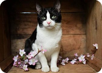 Domestic Shorthair Cat for adoption in Germantown, Maryland - Josie