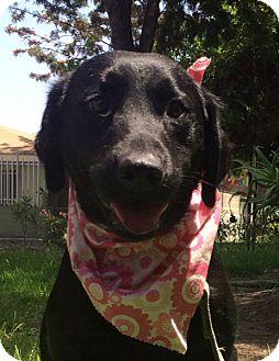 Labrador Retriever Dog for adoption in Pasadena, California - DAISY