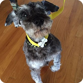 Schnauzer (Miniature) Dog for adoption in Redondo Beach, California - Jack