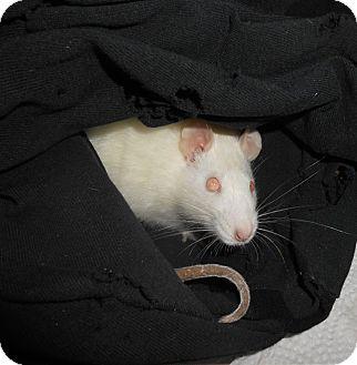 Rat for adoption in Philadelphia, Pennsylvania - BIANCA