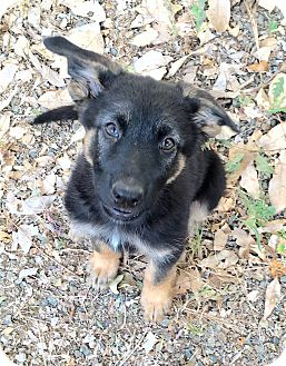 German Shepherd Dog Mix Puppy for adoption in Riverside, California - Mandrin