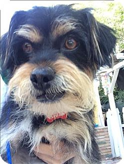 Terrier (Unknown Type, Small) Mix Dog for adoption in Encino, California - Gidget