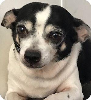 Chihuahua Dog for adoption in Orlando, Florida - Melody