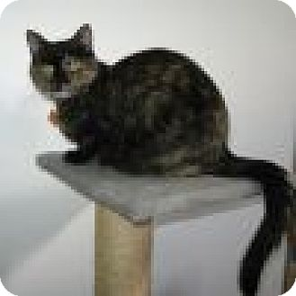 Domestic Shorthair Cat for adoption in Powell, Ohio - Amber