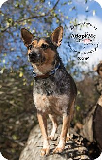 Australian Cattle Dog Mix Dog for adoption in New Milford, Connecticut - Corky