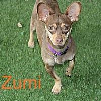 Chihuahua/Dachshund Mix Dog for adoption in Houston, Texas - Zumi