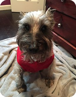 Schnauzer (Miniature) Dog for adoption in San Diego, California - Danzig
