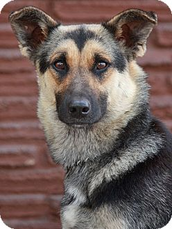 German Shepherd Dog Mix Dog for adoption in Los Angeles, California - Omaha von Ohrdurf