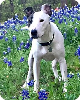 Bull Terrier Mix Dog for adoption in McKinney, Texas - Cookie