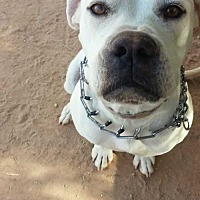 Boxer Dog for adoption in Chandler, Arizona - SWEETIE