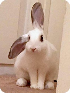 Lop, English Mix for adoption in Los Angeles, California - Luna