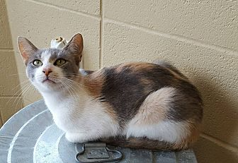 Domestic Shorthair Cat for adoption in Ft. Payne, Alabama - Fresca