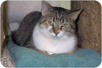 Domestic Shorthair Cat for adoption in Batavia, Ohio - Tulip