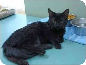 Domestic Shorthair Cat for adoption in Houghton, Michigan - Jane