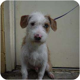 Terrier (Unknown Type, Small) Mix Puppy for adoption in Portland, Oregon - Tahoe