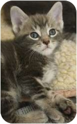 Domestic Shorthair Kitten for adoption in Chicago, Illinois - Billie Holiday