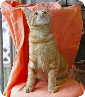 Domestic Shorthair Cat for adoption in Tillamook, Oregon - Barbie