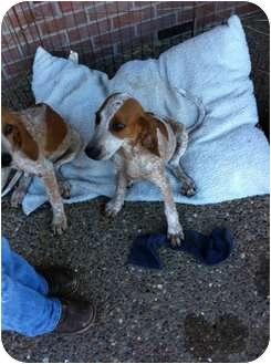 Bloodhound Mix Puppy for adoption in Hopkinsville, Kentucky - Luke & Laynie