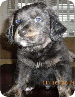 Border Collie/Australian Shepherd Mix Puppy for adoption in Staunton, Virginia - Pauly
