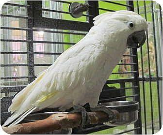 Cockatoo for adoption in Edgerton, Wisconsin - Winston