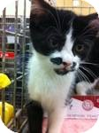 Domestic Shorthair Kitten for adoption in Pittstown, New Jersey - Melody