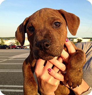 Pit Bull Terrier Mix Puppy for adoption in Medford, New Jersey - Piglet