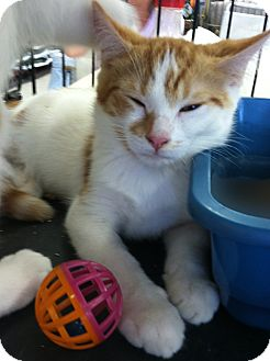 Domestic Shorthair Kitten for adoption in Riverhead, New York - Creamsicle