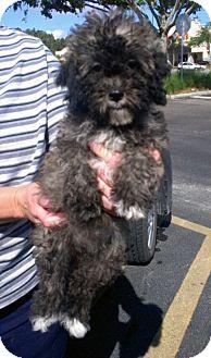 Shih Tzu/Poodle (Miniature) Mix Puppy for adoption in St. Petersburg, Florida - Allie