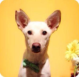 Labrador Retriever Mix Dog for adoption in Castro Valley, California - Silvie