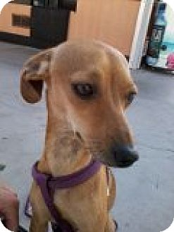 Dachshund/Chihuahua Mix Dog for adoption in Vancouver, Washington - Lucy