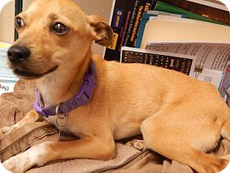 Chihuahua Mix Dog for adoption in The Dalles, Oregon - Vienna