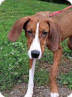 Redbone Coonhound/Greyhound Mix Dog for adoption in Farmington, Michigan - Dafodil
