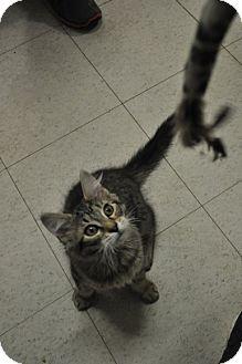 Domestic Longhair Cat for adoption in Rockaway, New Jersey - Mumford