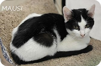 Domestic Mediumhair Kitten for adoption in Concord, North Carolina - Mausi