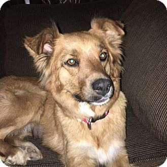 Border Collie/Shepherd (Unknown Type) Mix Dog for adoption in Mesa, Arizona - Cola