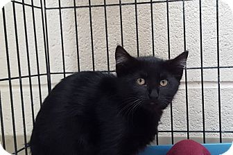 Domestic Shorthair Kitten for adoption in Elyria, Ohio - Biscuit