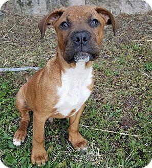 Boxer/Mastiff Mix Puppy for adoption in Eugene, Oregon - Vinny