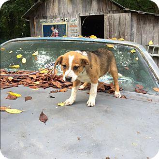 Terrier (Unknown Type, Medium) Puppy for adoption in Hohenwald, Tennessee - Juno