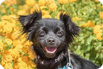 Chihuahua Mix Dog for adoption in Las Vegas, Nevada - Betsy