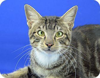 Domestic Shorthair Cat for adoption in LAFAYETTE, Louisiana - TEX